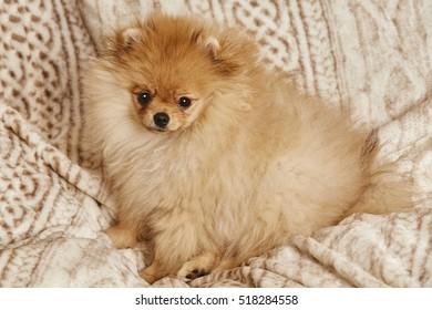 spitz, Pomeranian dog on plaid (blanket)