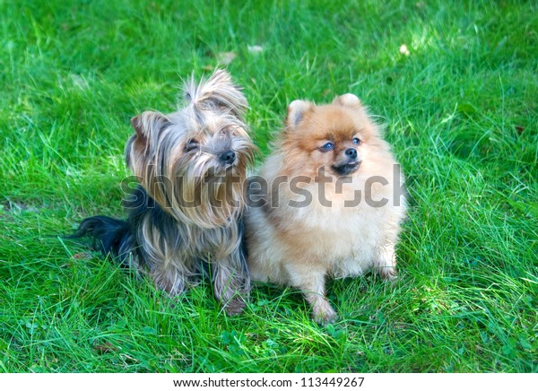 Spitz Pomeranian Dog Yorkshire Terrier City Stock Photo Edit Now