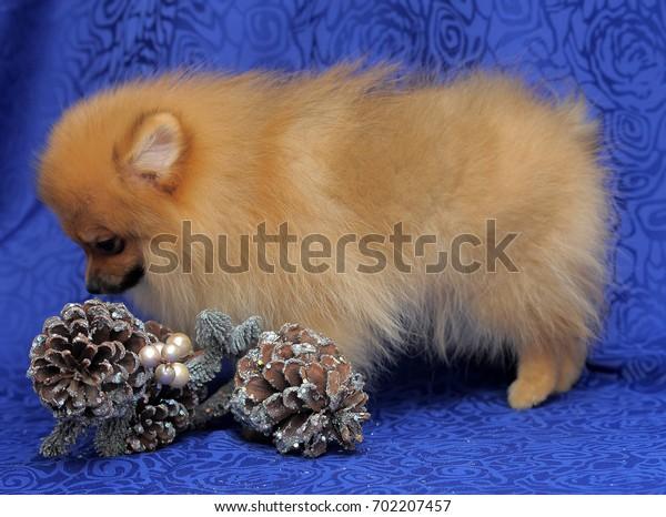 Spitz - pomeranian red dog portrait on blue background.