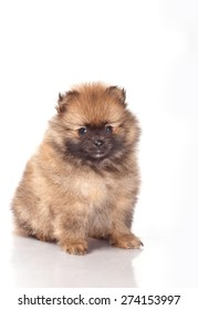 Spitz puppies on white background. Funny little puppy spitz. Spitz puppy on white background, pomeranian puppy the age of 2 month