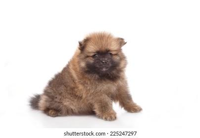 Spitz puppies. Pomeranian puppy dog on white background. Spitz dog on white background. Very small breed dog puppies.