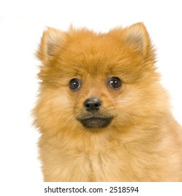 Spitz puppy in front of white background