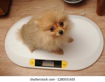 Spitz puppy on scales