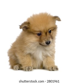 Spitz puppy sitting in front of white background