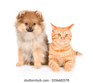 spitz puppy and and tabby cat  together. isolated on white background