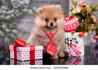 Spitz in a tie and a gift in a box