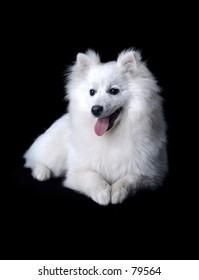 Spitz-dog sits