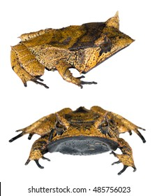 Spix's Horned Treefrog (Hemiphractus scutatus), An extremely rare frog from the Ecuadorian Amazon.
