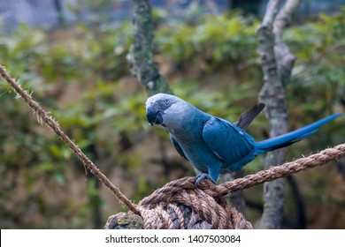 The Spix's macaw is a macaw native to Brazil. The bird is a medium-size parrot. The IUCN regard the Spix's macaw as probably extinct in the wild. Its last known stronghold in the wild was in  Brazil