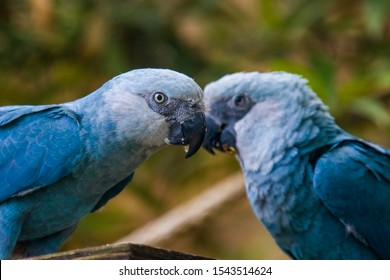 The Spix's macaw is a macaw native to Brazil. The bird is a medium-size parrot. The IUCN regard the Spix's macaw as probably extinct in the wild. Its last known stronghold in the wild was in  Brazil.
