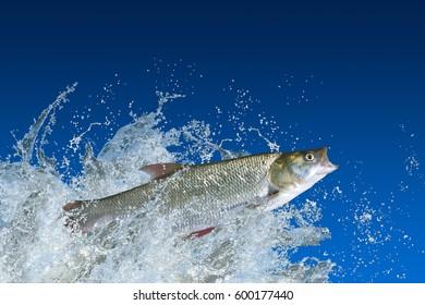 Splash fish. Asp fish (aspius) jump