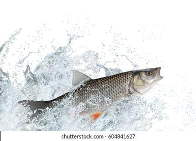 Splash fish. Chub fish jump