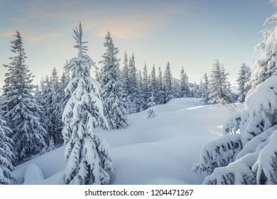 Splendid Alpine scenery in winter. Fantastic frosty morning in forest. snow-cowered pine trees under warm sunlight. Fantastic mountain highland.  Amazing winter background. Wonderful Christmas Scene.