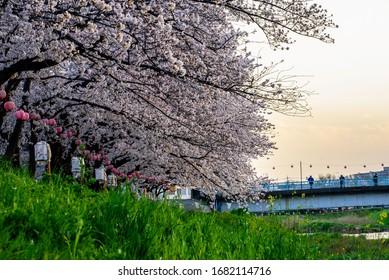 Splendid cherry blossom trees in the park.