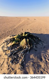 Splendid example of Welwitschia mirabilis is estimated to be more than 1500 years old,Erongo, Namibia, Amazing desert plant, living fossil Welwitschia Mirabilis in Namib Desert