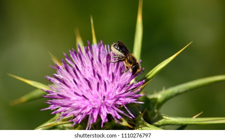 Splendid flower of milk thistle and small bee among the stamens