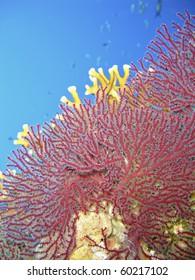 Splendid knotted fan coral (Acabaria splendens).Ras Za'atar, Ras Mohamed National Park, Sharm El Sheikh, South Sinai, Red Sea, Egypt.