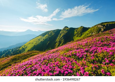 Splendid landscape in sunny summer day with pink rhododendron flowers. Location place Carpathian mountains, Ukraine, Europe. Vibrant photo wallpaper. Exotic summer scene. Discover the beauty of earth.