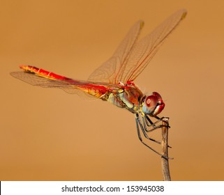 Splendid multicolor dragonfly sympetrum fonscolombii performing equilibrium with its spread wings on a tiny dry stem, with natural plain background