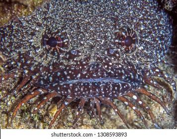 splendid toadfish,Sanopus splendidus also called the coral toadfish and the Cozumel splendid toadfish is a species of toadfish