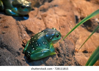 Splendid Tree Frog, found north of the Kimberly Region, also called Magnificent Tree Frogs, often identified by white spots and brilliant orange colouration on the limbs, groin and thighs