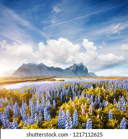 Splendid view of perfect lupine flowers on sunny day. Location Stokksnes cape, Vestrahorn (Batman Mount), Iceland, Europe. Scenic image of amazing nature landscape. Discover the beauty of earth.