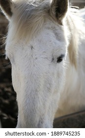 Splendid white horse in the national park of Camargue in the south of France