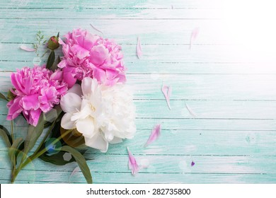 Splendid white and pink  pink  peonies flowers in ray of light on turquoise painted wooden planks. Selective focus. Place for text.