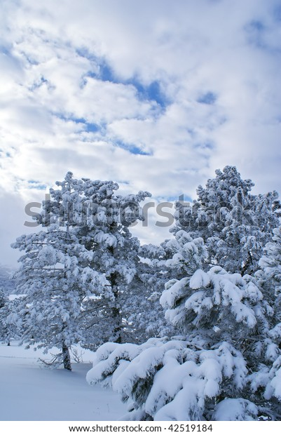Splendid winter landscape with pines after snowstorm