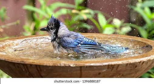 Splish splash bluejay taking a bath in a backyard birdbath.