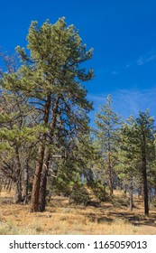 Split California pine trees stand tall above a dead grass meadow.