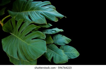 Split green large leaves of giant pothos or devil's ivy overgrowing in wild, tropical plant on black background.