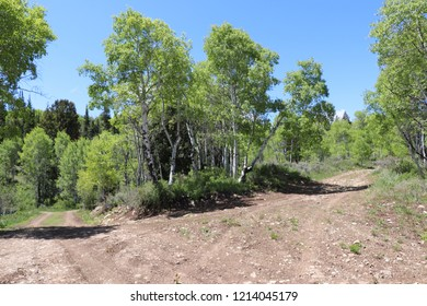 A split in the road with quaking aspen in the middle at Soldier Summit Utah May 2018