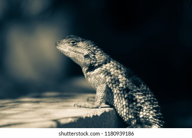 A split tone black and white close up portrait of a female Sonoran desert spiny lizard placing her front arms on a brick and standing up as if at a bar or table. Tucson, Arizona. Summer 2018.