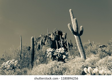 A split tone image of the Sonoran desert near Tucson, Arizona, Saguaro cactus, barrel, cholla, prickly pear and many other cacti fill this beautiful landscape. Mountains rise above cloudless skies.