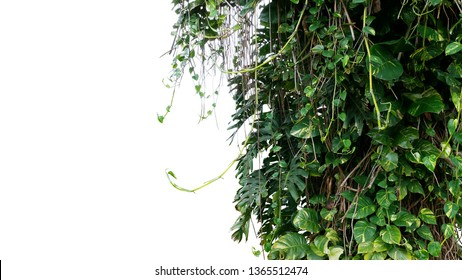 Split-leaf philodendron Monstera and variegated leaves Devil's ivy pothos liana plants climbing on tree trunk, tropical forest plant jungle bush isolated on white background with clipping path.