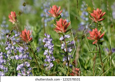 Split-leaved indian paintbrush and silky lupine, Hells Canyon NRA, Idaho, USA