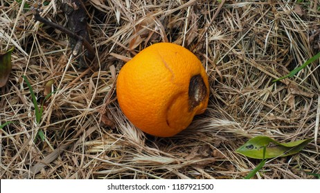Spoiled Citrus Fruit in the nature. Rotten Orange fruit fell to the ground. Close up