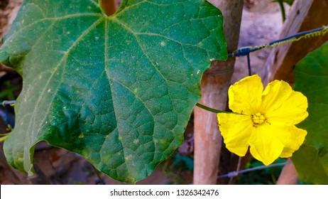 Sponge gourd flower/ Patola flower