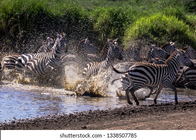 Spooked zebras run out of water at a watering hole with water droplets going everywhere