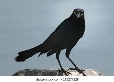 A spooky blackbird (grackle) gives us an unfriendly vibe with a haunting stare.