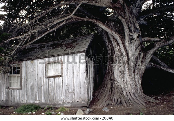 Spooky cabin under a large dead tree in Big Sur country, California