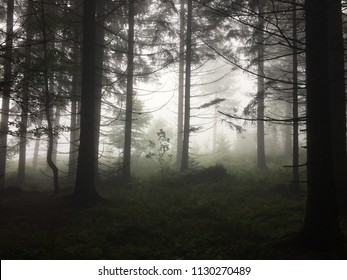 Spooky dark and misty forest with spruce and fir trees, Black Forest, germany
