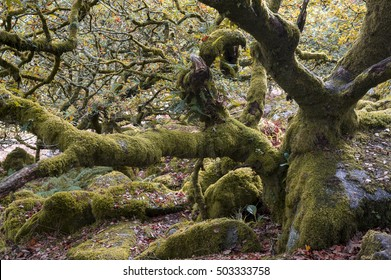 Spooky Halloween forest background with stunted, moss-covered trees and rocks