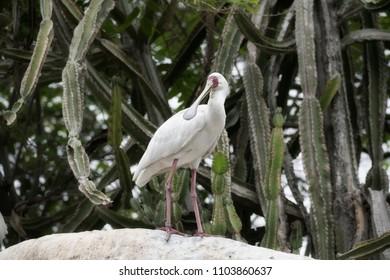 Spoon Bill Stork