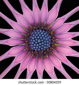 Spoon Star (Osteospermum)  Asteraceae - Macro