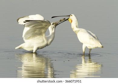 spoonbill feeding his baby bird / Platalea leucorodia /