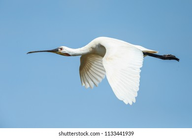 Spoonbill (Platalea leucorodia) in flight against a blue sky