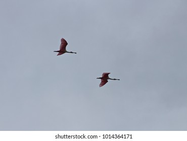 Spoonbills, a long-legged wading bird, against a cloudy sky over Camaguey, Cuba.