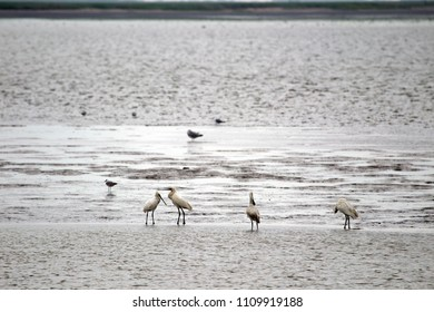 Spoonbills in the Wadden area on Schiermonnikoog, the Netherlands